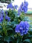 Aconitum carmichaelii var. Arendsii - Kurpelė