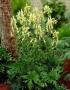 Aconitum Lamarckii - Kurpelė