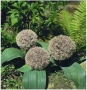 Allium Karataviense - Česnakas