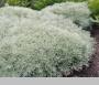 "Artemisia Schmidtiana ""Nana"" - Kietis"