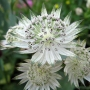 "Astrantia major ssp. involucrata ""Shaggy"""