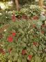 Actea rubra - juodžolė
