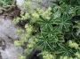 Alchemilla alpina - rasakila