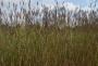 "Andropogon gerardii ""Prairie sommer"" - Barzdotis"
