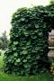 Aristolochia macrophylla - didžialapė  kartuolė