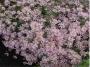 "Aster ericoides ""Pink star"" - erikinis astras"