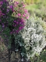 "Aster ericoides ""First snow"" - erikinis astras"