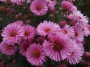 "Aster  ""Harrington's Pink"""