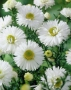 "Aster novi - belgii ""White ladies"""
