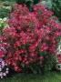 "Aster novi - belgii ""Crimson brocade"" - virgininis astras"