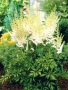 "Astilbe ""Milk and honey"""