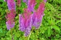 "Astilbe ""Purpurlanze"""
