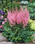 "Astilbe ""Vision in pink"""