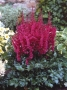 "Astilbe ""Vision in red"""
