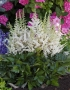 "Astilbe ""Vision in white"""