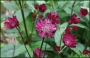 "Astrantia major  ""Rubby wedding"""