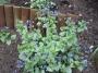 """Brunnera macrophylla """"Jack Frost"""""""