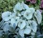 "Brunnera macrophylla ""Alexanser's great"""