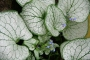 "Brunnera macrophylla ""Silver spear"""