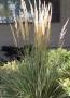 "Calamagrostis x acutiflora ""Overdam"" - Lendrūnas"