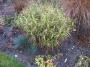 """Carex muskingumensis """"Oehme"""" - Palminė viksva"""