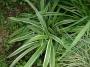 """Carex siderosticha """"Variegata"""" - Viksva"""