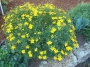 Coreopsis verticillata - Geltonžiedis gludas