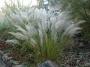 Calamagrostis brachytricha korėjinis lendrūnas