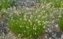 Carex montana - viksva
