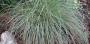 "Carex ""Silk tassel"" - viksva"
