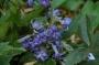 Clematis heracleifolia - raganė