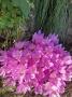 Colchicum autumnale - rudeninis vėlyvis