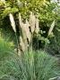 """Cortaderia selloana """"Patagonia"""""""