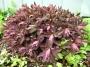 "Euphorbia dulcis""Chameleon"" - Karpažolė"