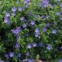 "Geranium ""Brookside"" - Snaputis"