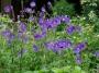 "Geranium ""Eureca blue"" - snaputis"