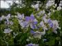 "Geranium pratense ""Splish-splash"" - snaputis"