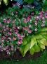 """Geranium x oxonianum """"Wageningen"""" - snaputis"""