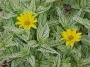 "Heliopsis helianthoides ""Loraine sunshine"" - Saulakis"