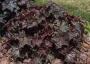 "Heuchera ""Palace purple"" - Alūnė"