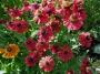 """Helenium """"Red jewel"""" - saulainė"""