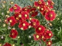 """Helenium """"Red shades"""" - saulainė"""