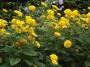 """Helianthus """"Loddon gold""""- saulėgrąža"""
