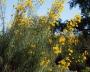 Helianthus giganteus - didžioji saulėgrąža