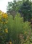 Helianthus salicifolius - saulėgrąža