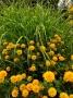 """Heliopsis helianthoides """"Asahi"""" - saulakis"""