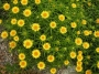 "Inula ensifolia ""Compacta"" - Debesylas"