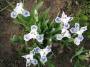 "Iris ""Blue pol"""