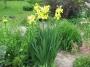 "Iris ""Golden lady"""