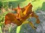 """Iris """"Imperial bronze"""""""